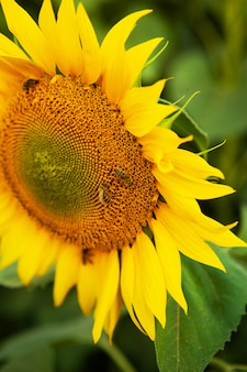 Закройте вверх по красивому солнцецвету и пчелам на ем.