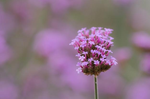 Close up beautiful verbana bonariensis purpletop lavender flowers