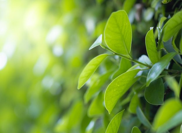Close up beautiful view of nature green leaves on blurred greenery tree