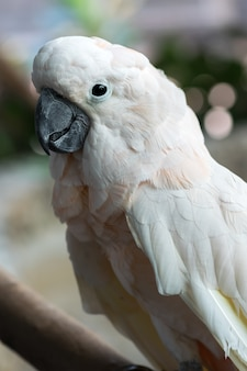 Close-up of a beautiful white cockatoo salmon-crested bird that is sticking on a branch.