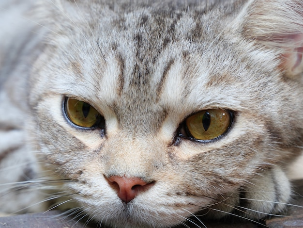 Close up beautiful yellow eyes  of tabby cat lay down on wooden floor