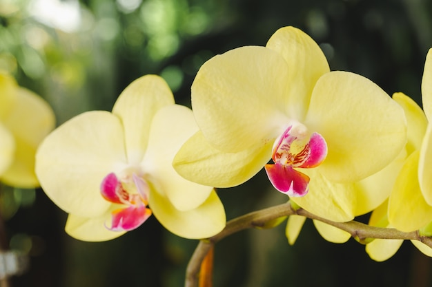 Close up of beautiful yellow orchid flowers on blurred background