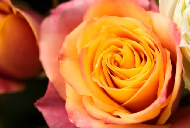 Primo piano del fiore di rosa splendidamente sbocciato