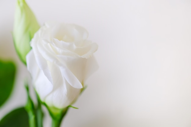 Close up of beauty white rose on white background with copy space for text.