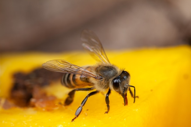 花から花粉を抽出する蜂をクローズアップ