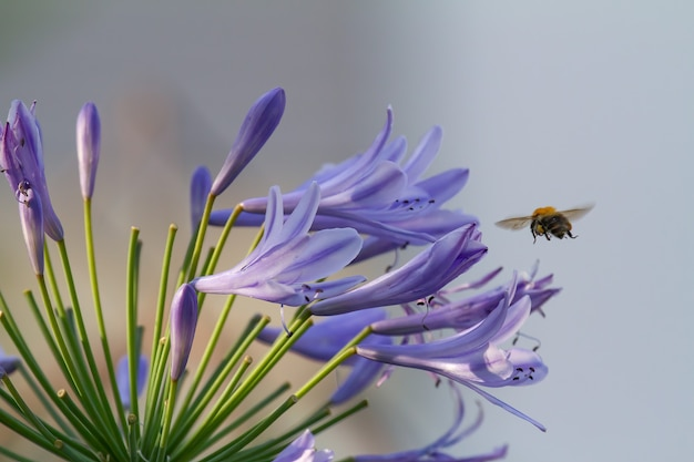 Close-up of a bee flying to blossoms of blue agapanthus