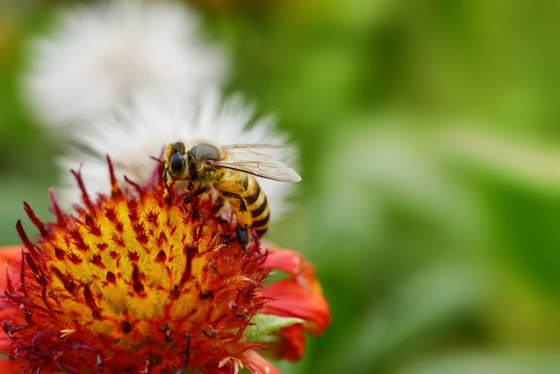 Close up bee on indian blanket flower and green background