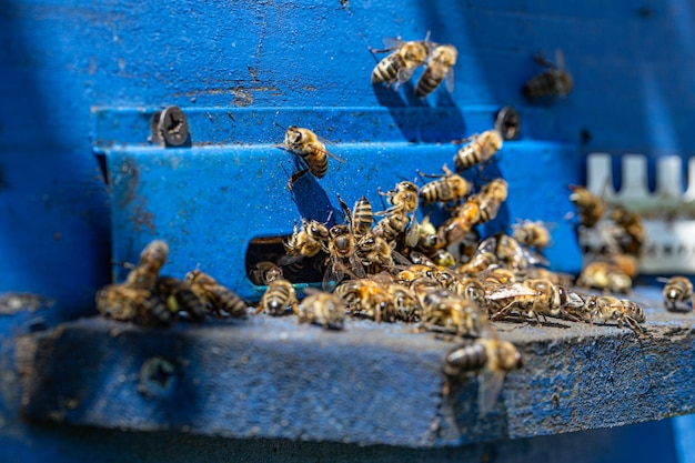 Close-up of a bee swarm on a wooden hive in an apiary