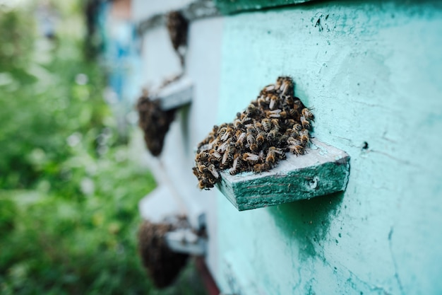 Close-up of a bee swarm on a wooden hive in an apiary.