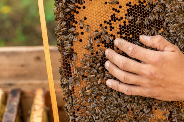Close up of beekeeper holding a honeycomb full of bees