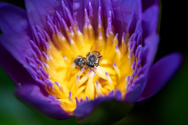 Close up bees trying to keep nectar pollen from the water lily