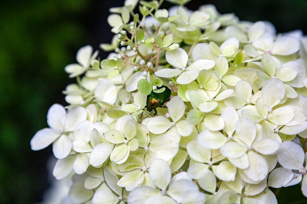 Close-up beetle in beautiful fresh white hydrangea flower