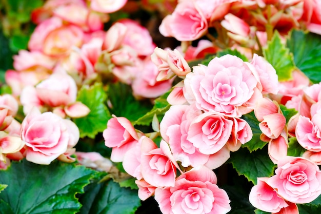 Close up of begonia flower blooming in garden spring nature outdoor