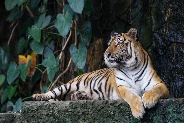 Крупным планом бенгальский тигр в лесу