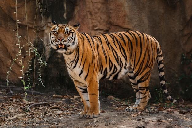 Крупным планом бенгальский тигр в зоопарке