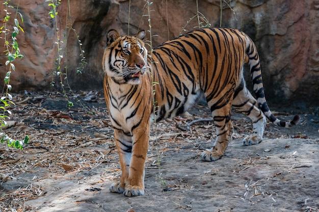 동물원에서 벵골 호랑이를 닫습니다