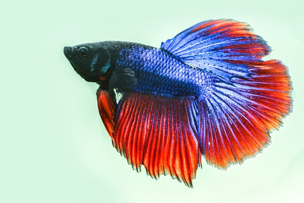 Close up of the betta fish