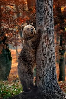Крупным планом большой бурый медведь в осеннем лесу