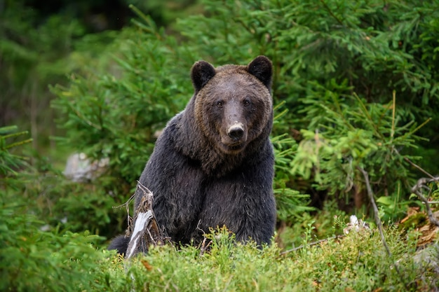 Крупным планом большой бурый медведь в лесу. опасное животное в естественной среде обитания. сцена дикой природы