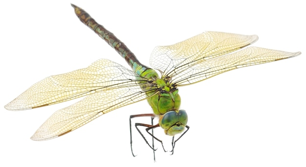 Close up of big green dragonfly isolated