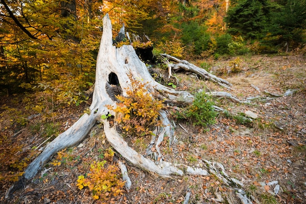 Close up of big root of very old tree surrounded by yellow and green leaves.