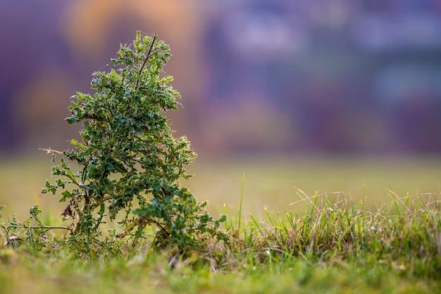 근접 큰 키 큰 창 엉겅퀴 녹색 가시 가시 식물 흐린 부드러운 다채로운 맑은 푸른 bokeh 자연에 녹색 잔디 필드에서 성장하는 높은 줄기에. 잡초와 농업 개념.