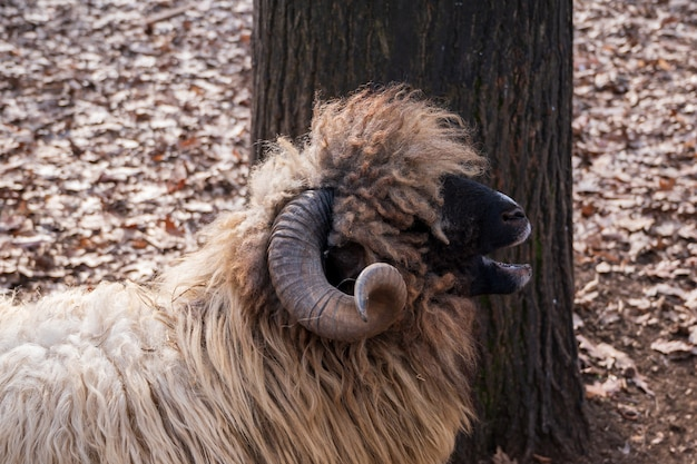 Close up of a bighorn ram