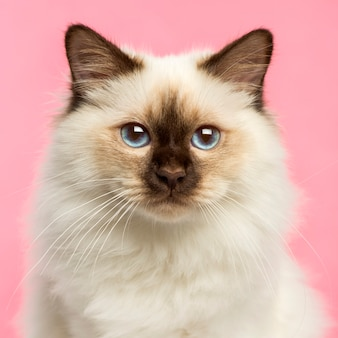 Close-up of a birman kitten looking at the camera on pink