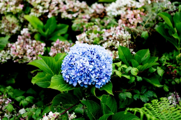 Close up of a bkye hydrangea flower growing outdoors