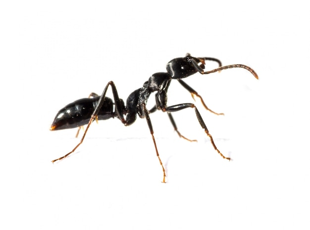 Close-up of black ant