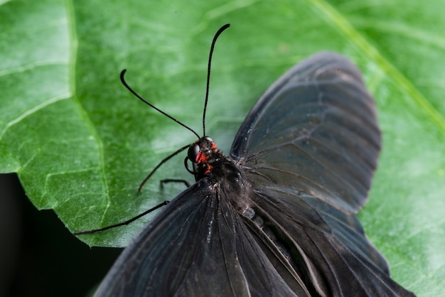 Close up black butterfly with opened wings