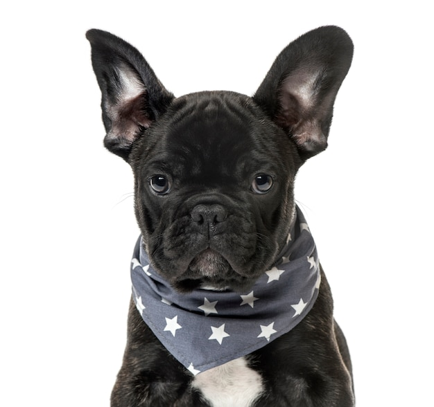 Close-up of a black french bulldog puppy with a starry scarf, isolated on white