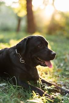 Close-up of a black labrador sticking out tongue lying on grass