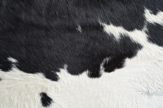 Close-up on black and white cow skin fur texture