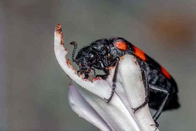 Close-up of the blister beetle or hycleus on a leaf