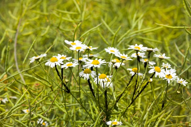 Close up on blooming daisies