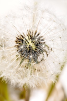 Close up on blooming fluffy dandelions flowers with sunlight. lightness purity concept
