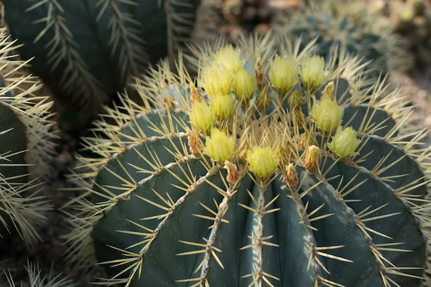 Close up on blooming  spiky cactus, cactaceae or cacti