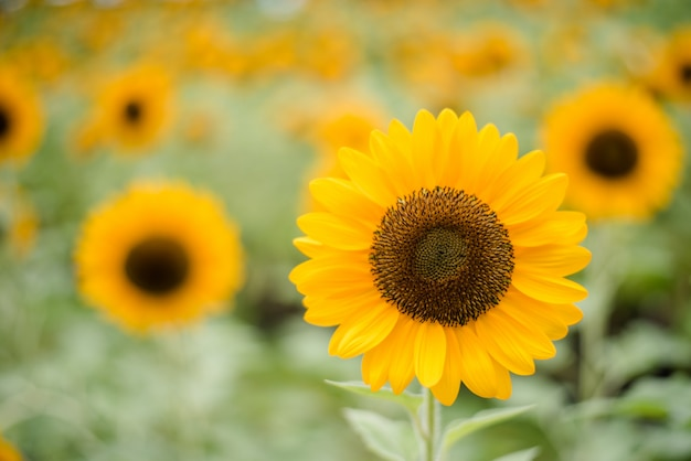 Close up of blooming sunflower in the field with blurred nature background.