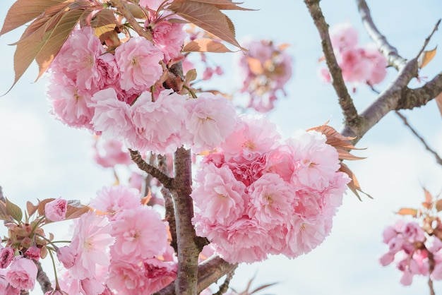 Close-up blossoming branch with bloom pink flower buds of cherry or sakura tree on blue sky background, horizontal outdoors stock photo image wallpaper