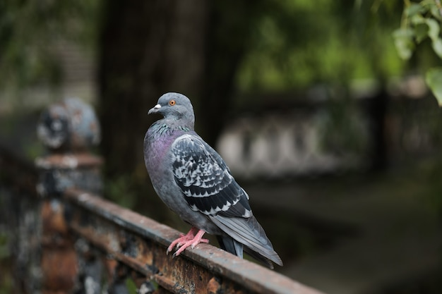 Close-up of a blue dove sits in the park on an iron fence.