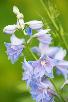 Close-up of blue flowers on a green background