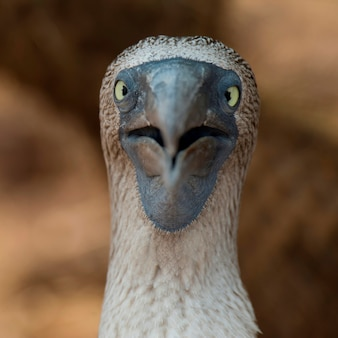 Close-up of a blue-footed booby (sula nebouxii), north seymour island, galapagos islands, ecuador
