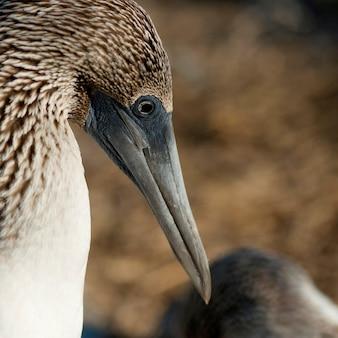 Close-up of a blue-footed booby (sula nebouxii), punta suarez, espanola island, galapagos islands, ecuador