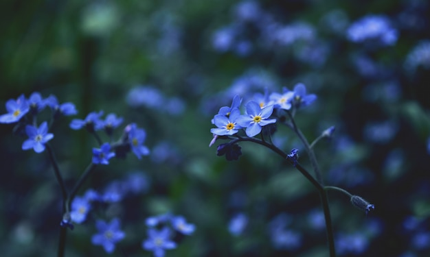 Close up blue forget me not flowers