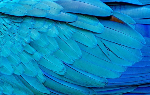 Close up of blue macaw birds feathers