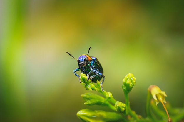 Close up of blue milkweed beetle on a plant