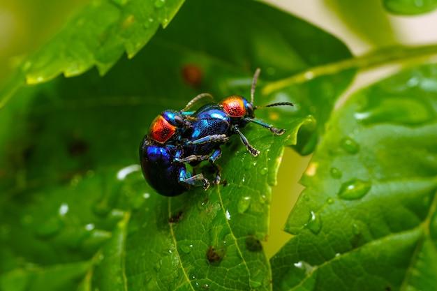 Close up of blue milkweed beetle on a wet plant