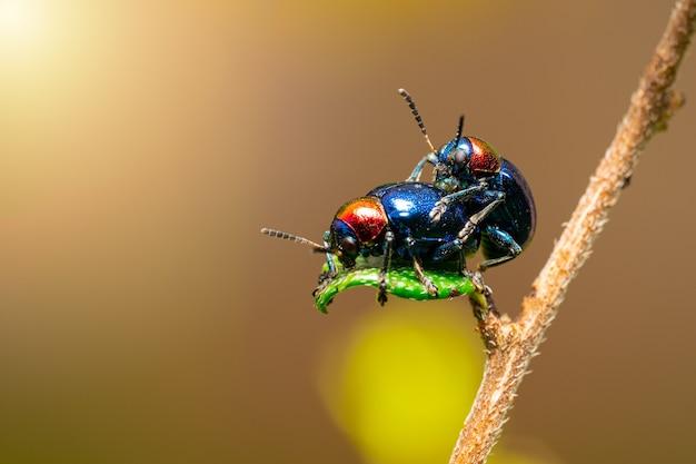 Close up of blue milkweed beetles on a plant