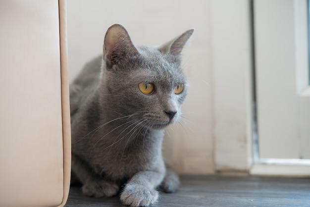 Close up blue siamese cat eye.